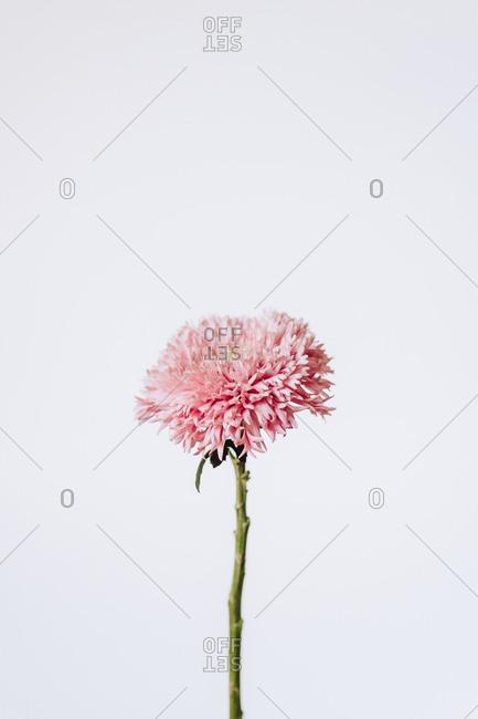 Pink flower in studio
