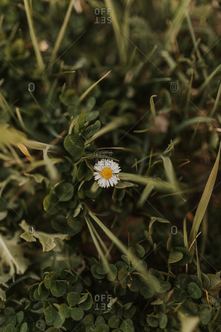Close-up of a single English daisy in a field of green