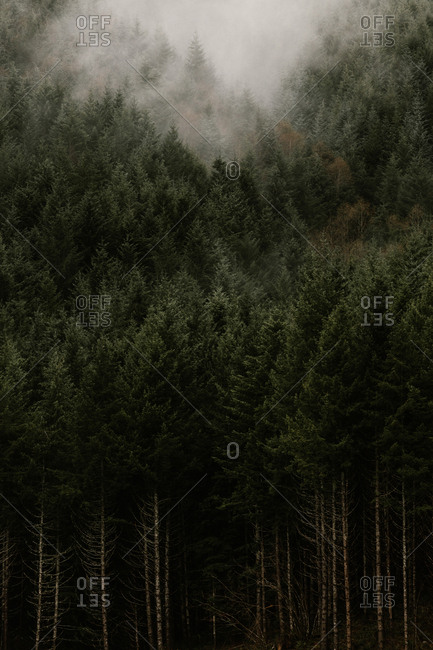 Fog above dense forest