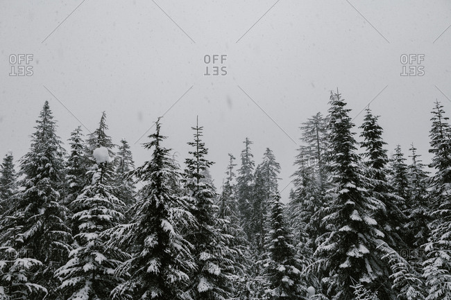 Snow falling on trees in a dense forest