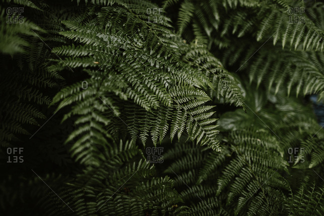 Close up of dense ferns