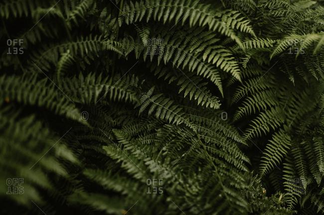 Close up of dense green ferns