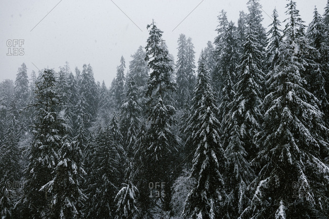 Thick snow falling in a forest