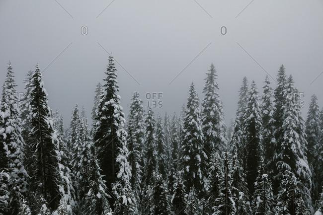 Dense fog over snowy forest
