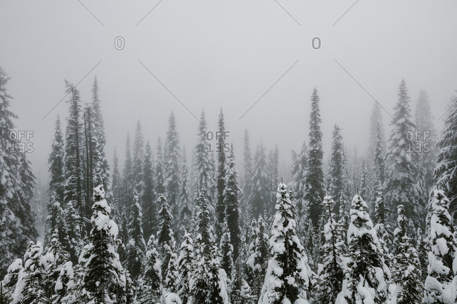 Thick fog over snowy forest