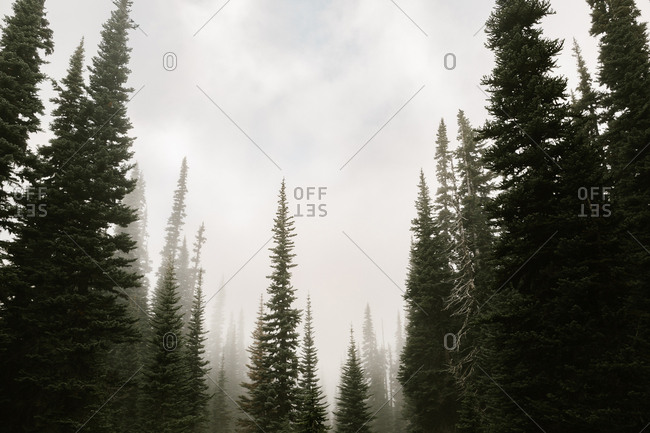 Hazy fog above trees in a forest