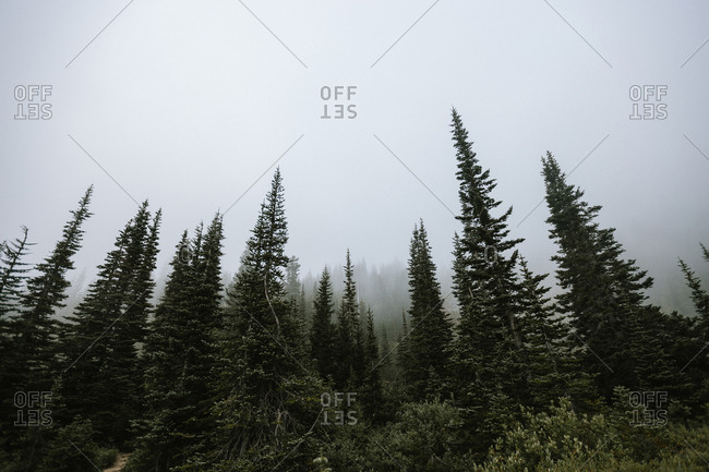 Dense fog above tall trees in the forest