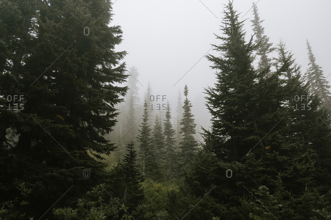 Fog in a forest - Offset