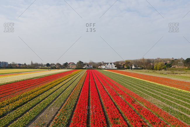 Fields with tulips in the spring in The Netherlands.