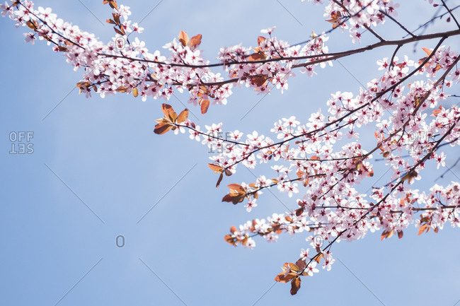 Cherry blossoms shot