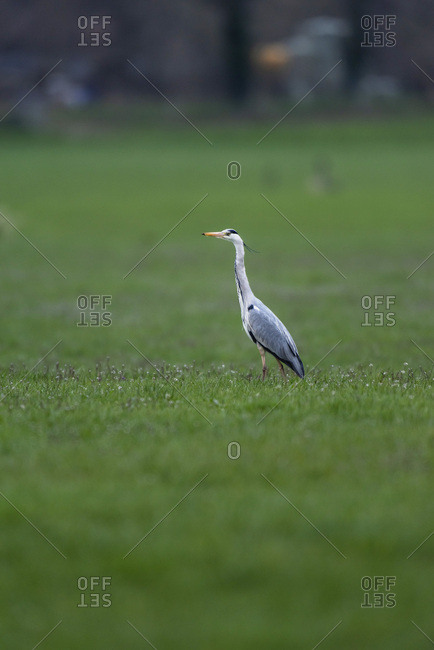 Heron walking in a green field