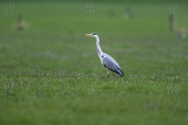 Grey heron walking in a green field