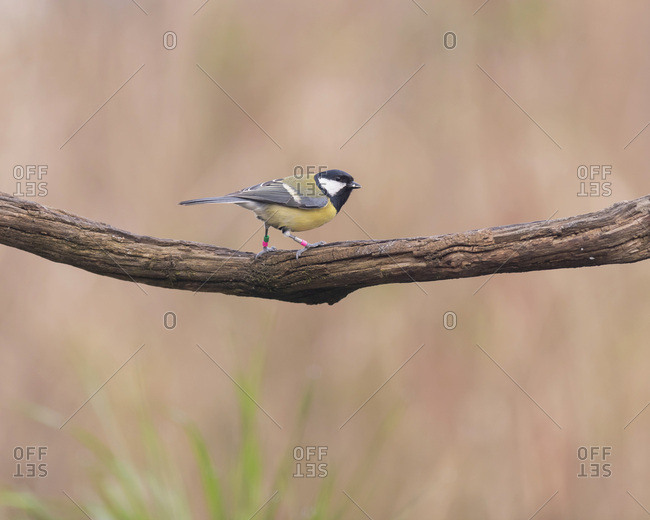 Close up of a great tit bird on a tree branch