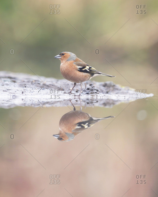Profile of a male common chaffinch reflecting in a pond