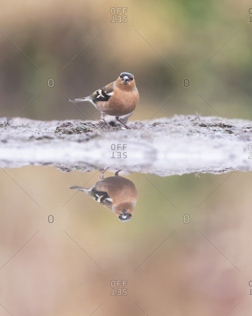 Male common chaffinch reflecting in a pond