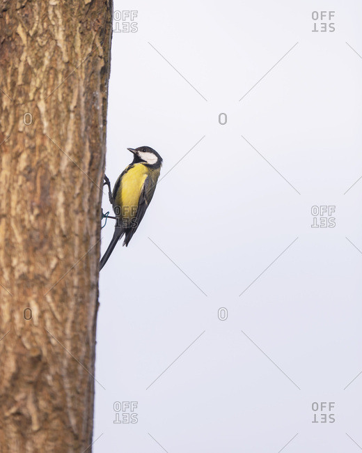 Close up of a great tit bird on a tree