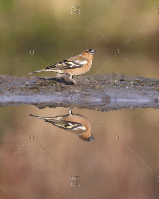 Side view of a male common chaffinch reflecting in a pond