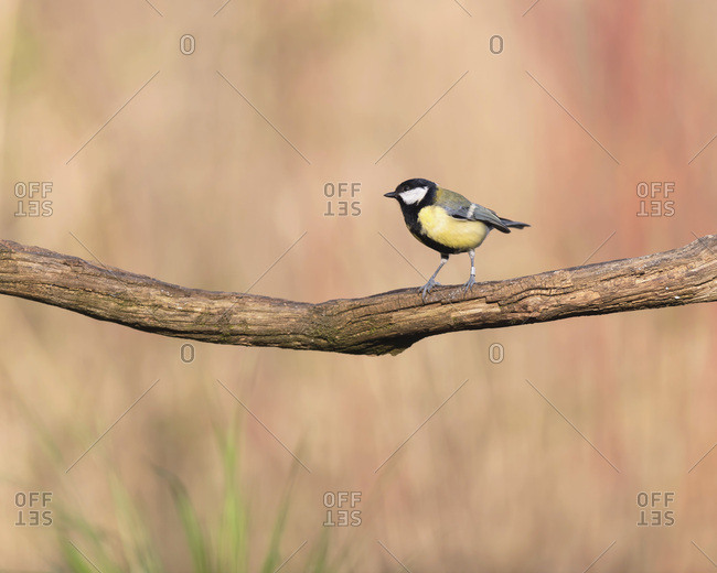 Close up of a great tit bird perched on a tree branch