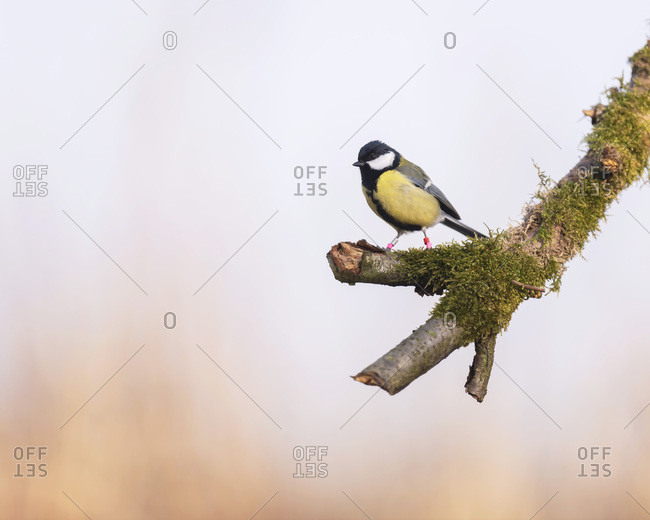 Great tit bird perched on a mossy tree branch