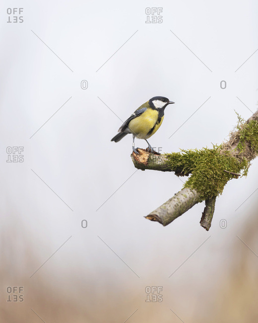 Close up of a great tit bird perched on a mossy tree branch
