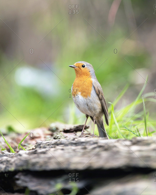 Close up of a robin red breast bird