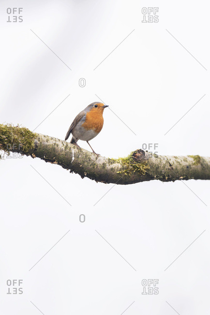 Close up of a robin red breast bird perched on a tree branch