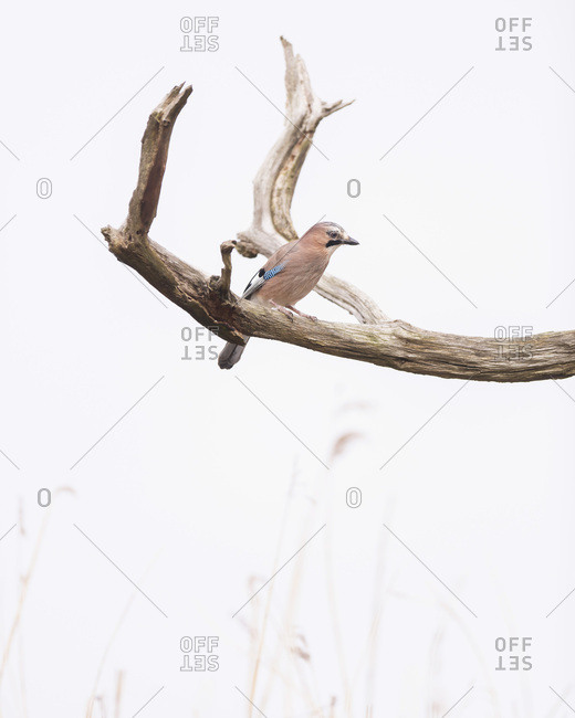 Jay bird perched on a tree branch