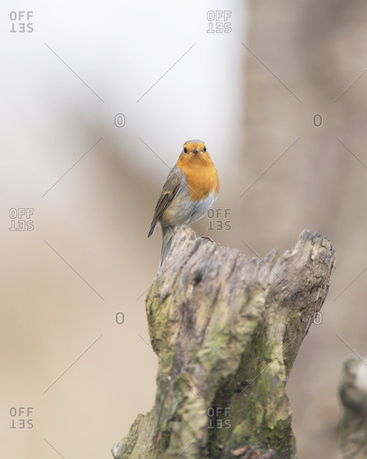 Robin red breast bird on a tree stump