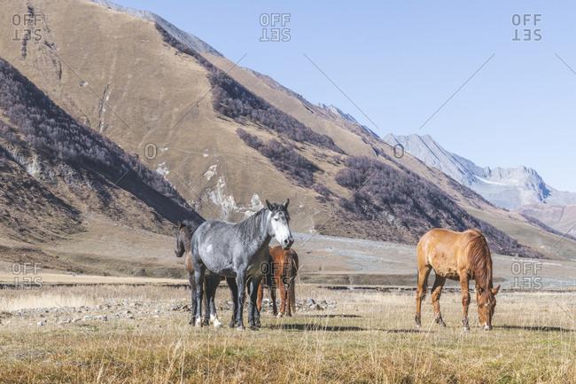 Georgia- Greater Caucasus- horses on Truss Gorge