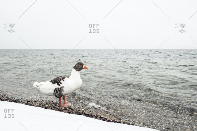 Grey goose- Anser anser- at Lake Starnberg in winter