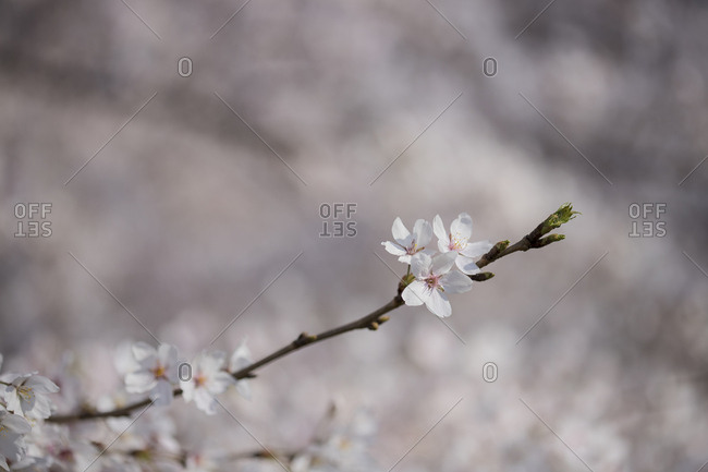Tree branches and cherry trees
