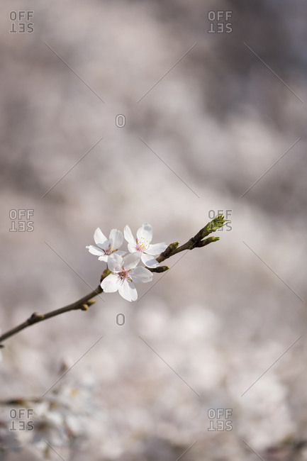 Cherry blossoms on branches and blur of background