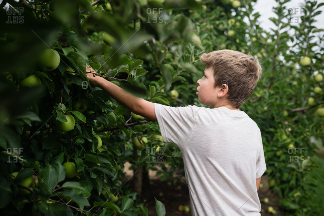 Boy picking green apples in an orchard