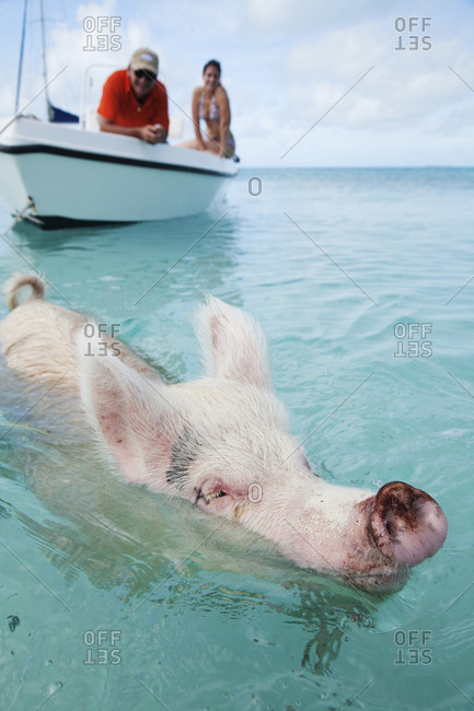 October 27, 2011: EXUMA, Bahamas. Swimming pigs at Big Major Cay.