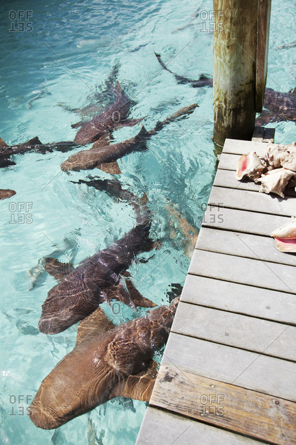 October 28, 2011: EXUMA, Bahamas. Swimming with docile nurse sharks at the Compass Cay Marina.