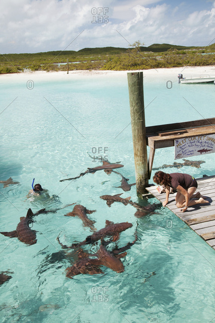 October 28, 2011: EXUMA, Bahamas. Swimming with docile nurse sharks at the Compass Cay Marina.