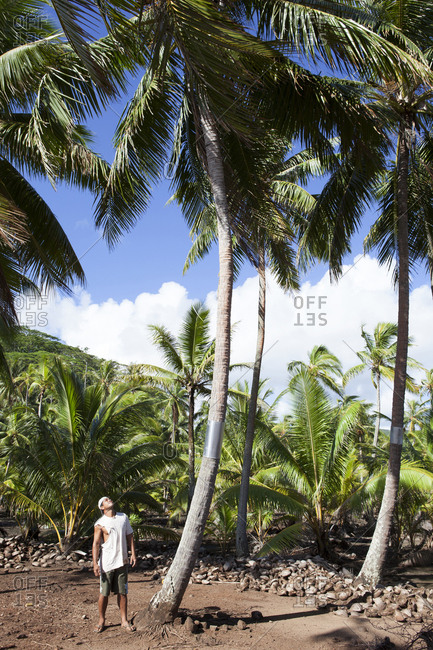 April 9, 2010: FRENCH POLYNESIA, Tahaa Island. A local man looking at a coconut tree.