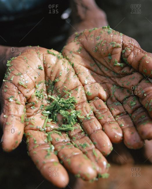 April 13, 2017: SRI LANKA, Asia, close-up of wet hands of tea picker