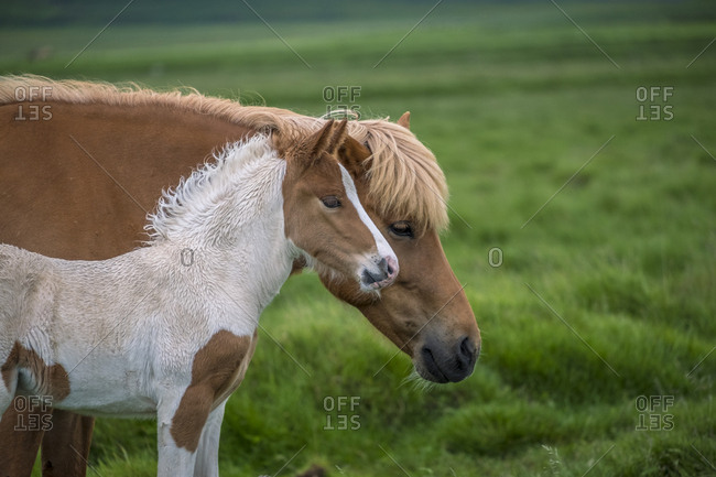 Iceland, Northwest Iceland, An Icelandic horse and her foal standing in a field