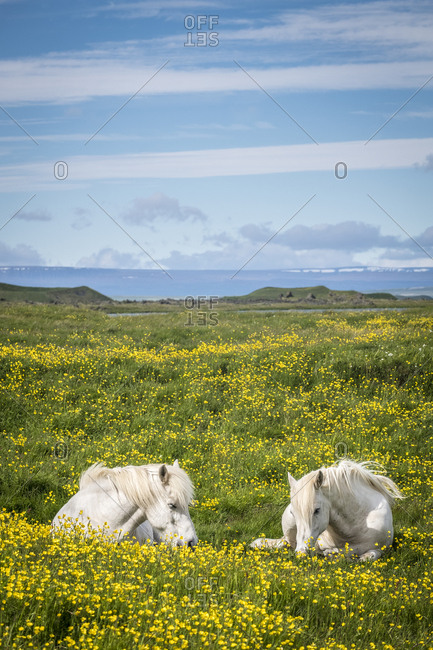Iceland, Northeast Iceland, Two white Icelandic horses resting in a field of wild flowers