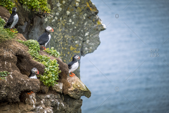 Iceland, West Iceland, Vesturland, Atlantic Puffins sitting on a ledge on Grimsey Island in the Westfjords or West Fjords of Iceland