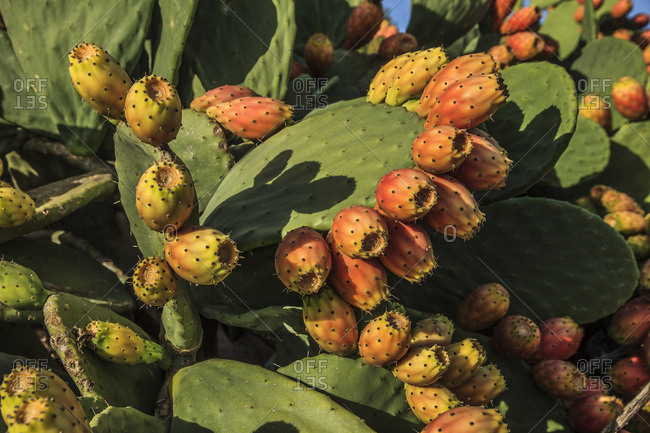 Italy, Sicily, Catania district, Bronte, Prickly pear