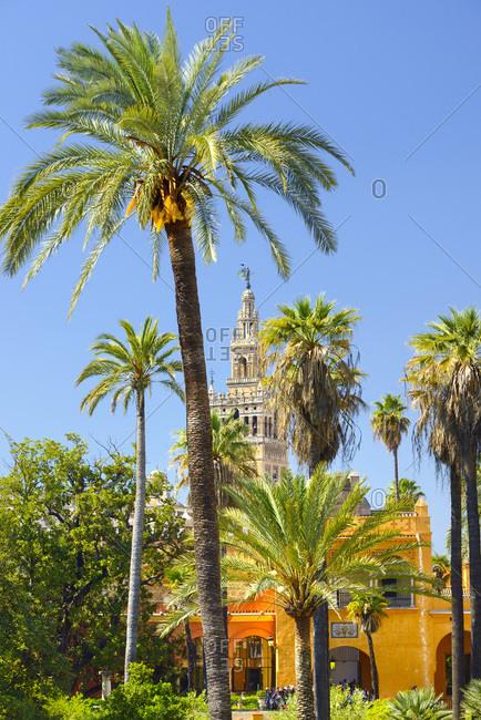 April 7, 2017: Spain, Andalusia, Seville, Barrio Santa Cruz, Seville Cathedral, La Giralda, La Giralda as seen among the Seville Alcazar Palace garden Palm trees