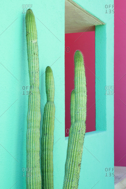 Cacti Plants Next to a Colorful Wall