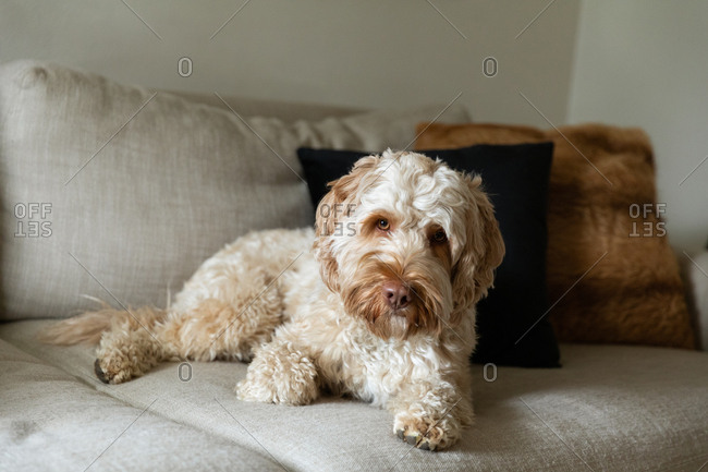 Cute goldendoodle relaxing on a beige couch