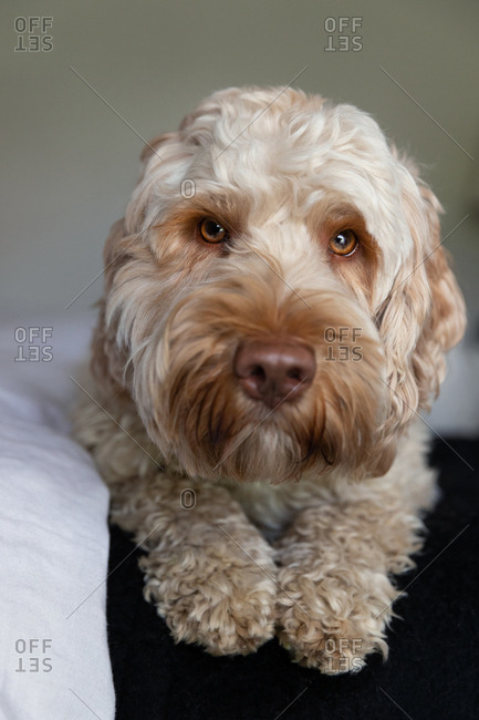 Close-up portrait of a goldendoodle dog