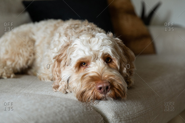 Goldendoodle laying on the couch and looking at the camera