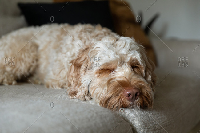 Cute goldendoodle sleeping on the couch