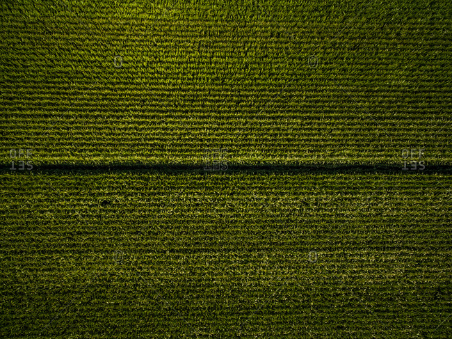 Aerial view above of abstract agricultural corn fields, Netherlands.