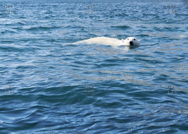 Greenland- Sermersooq- Kulusuk- Ikateq Fjord- swimming polar bear